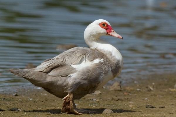 Female feral Muscovy duck on the fringe of Falmer Pond, East Sussex