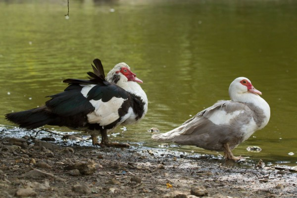 Male and female feral Muscovy ducks standing at the edge of Falmer Pond East Sussex