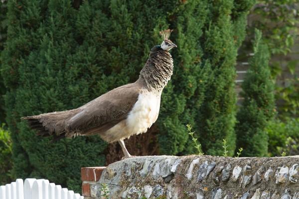 Pea hen in Falmer Village, East Sussex.
