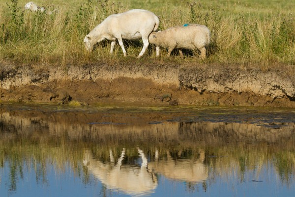 Sheep grazing at the water side with reflections. East Sussex