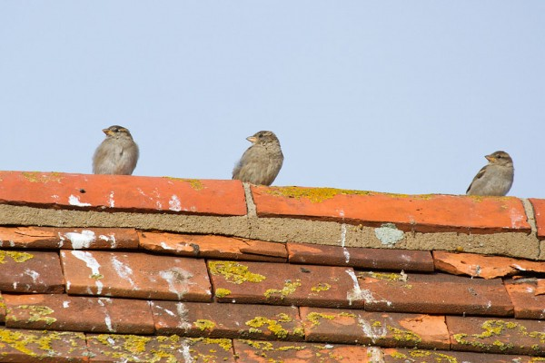 Trio of young fledgling house sparrows on roof,