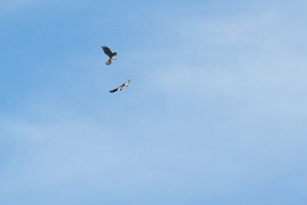 Pair of sparrowhawks