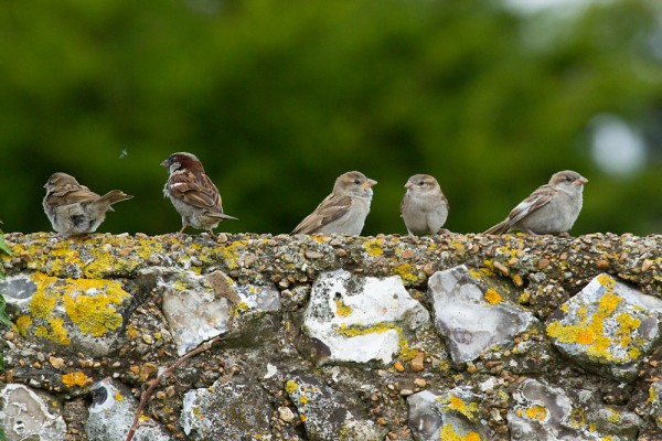 Sparrow fledglings