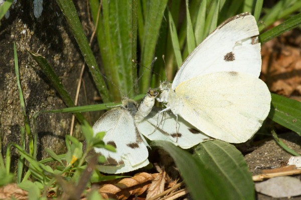 Pair of large white butterflies in mating dance.