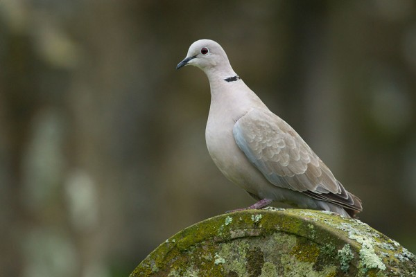 Collared dove on gravestone
