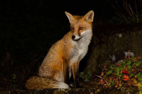 Fox at night