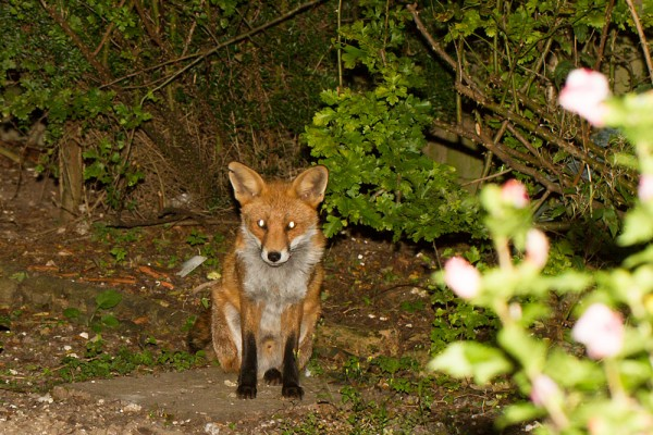 Fox in corner of garden