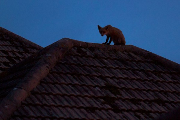 Young fox on rooftop at night