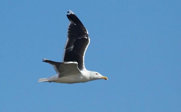 Great black-backed gull (Larus marinus),