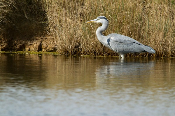 Heron standing in shallow water