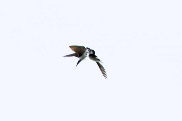 House martins feeding on the wing