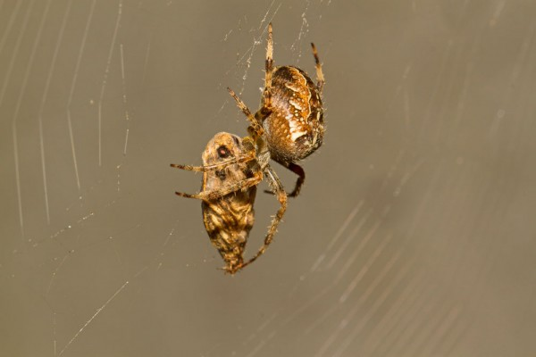 Common garden spider (Araneus diadematus), with  prey