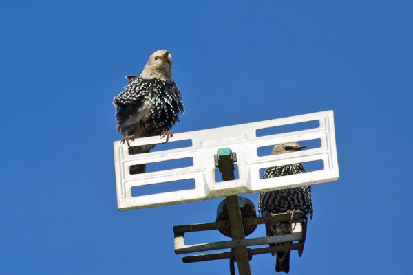 Juvenile starling on TV aerial