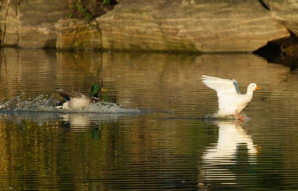 white duck landing