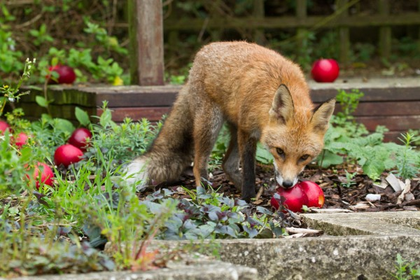 Fox and apples