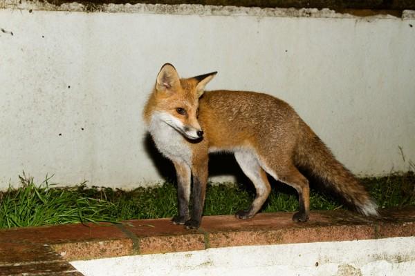 fox on wall