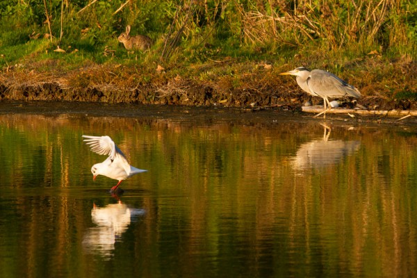 heron,gull, rabbit