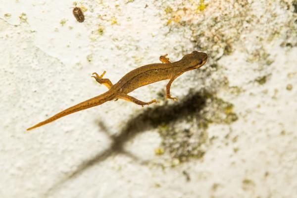 levitating newt