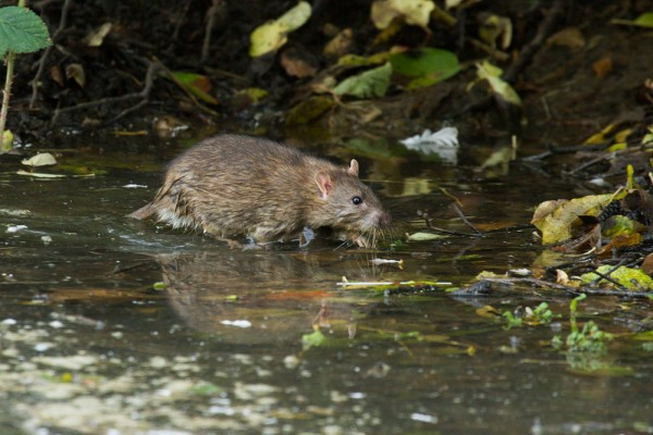 rat wading through water