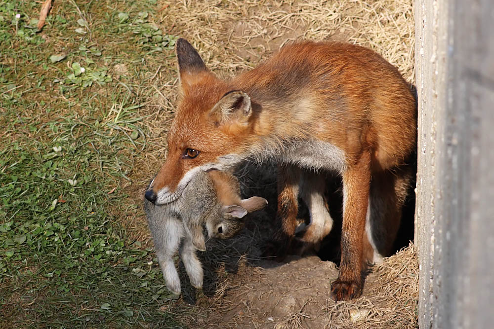 fox with rabbit