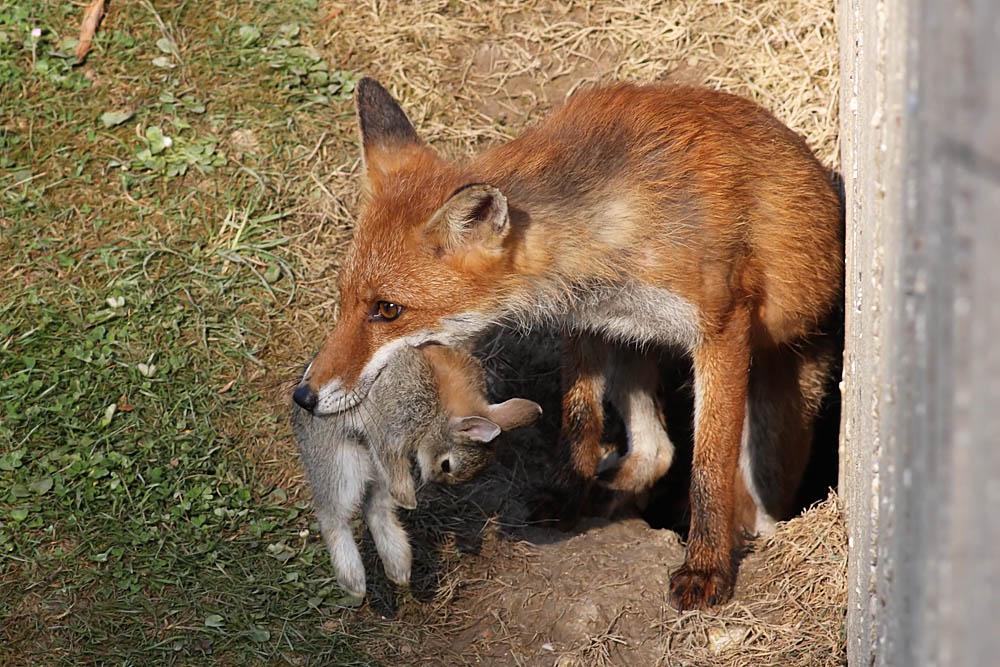 fox with rabbit