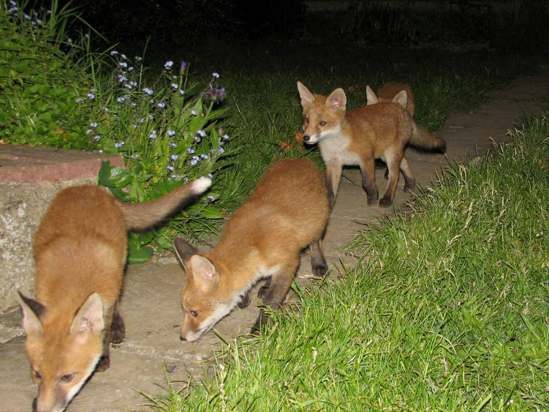 four fox cubs