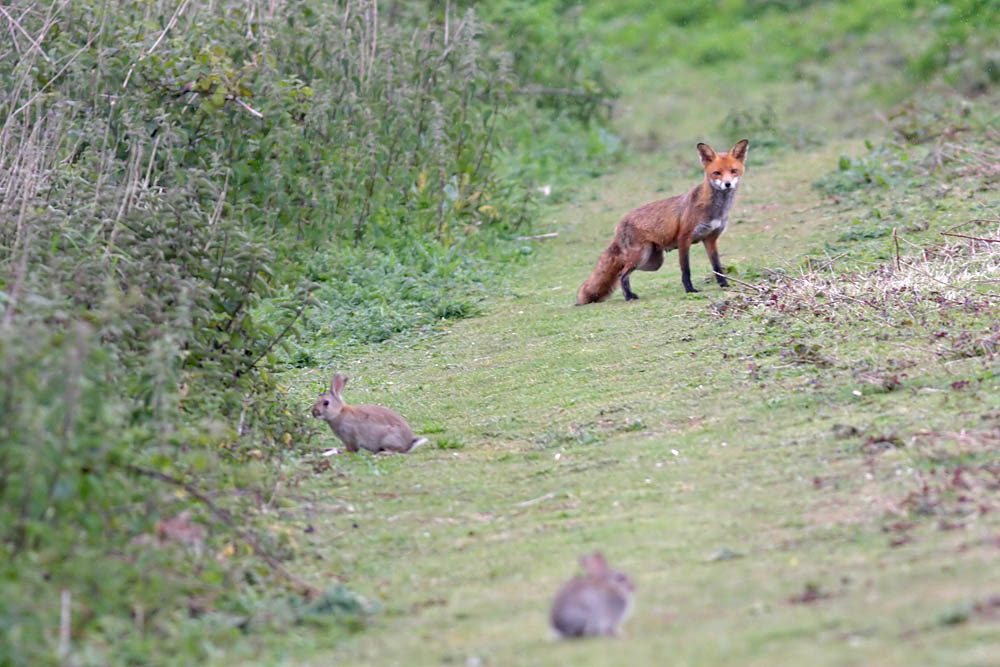 Fox hunting rabbits