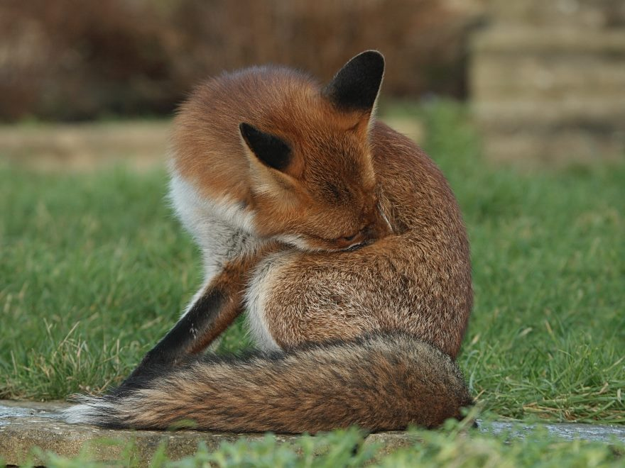 Fox of the Day January 2007