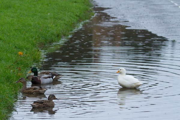 Ducks at the edge of a flooded road