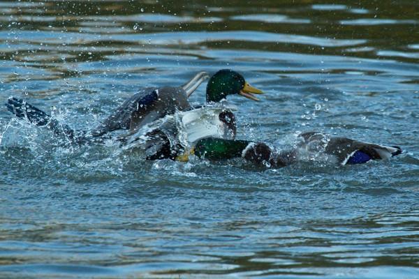 Ducks attacking a cormorant