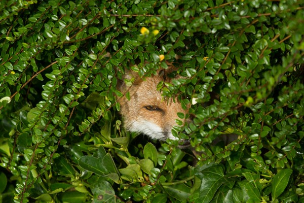 Fox emerging from a hedge