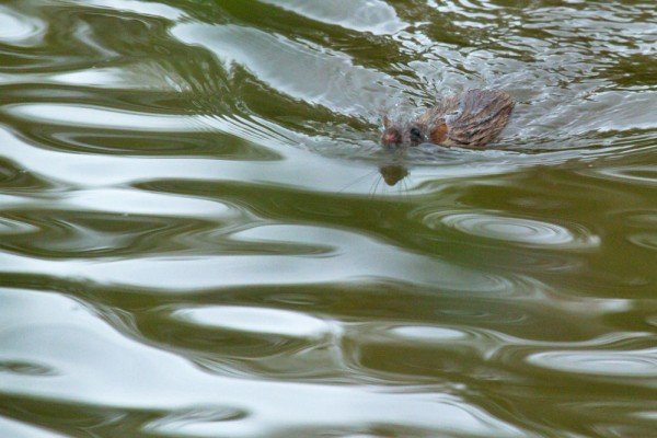 Swimming rat
