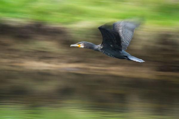 Cormorant at Seven Sisters