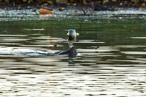 Cormorant catching a fish