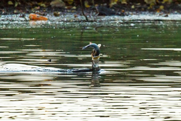 Cormorant catching a fish