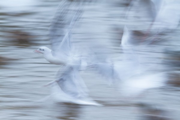 Motion blur black-headed gull