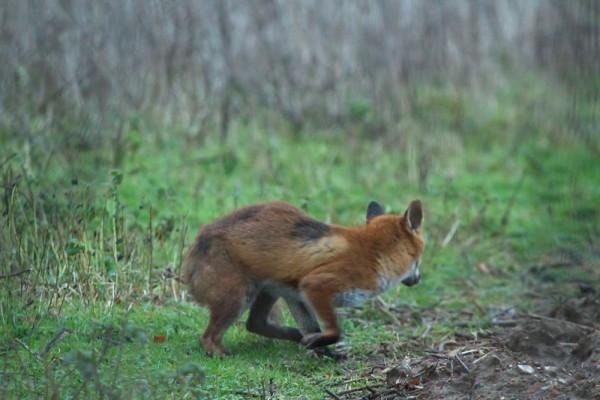 fox in field