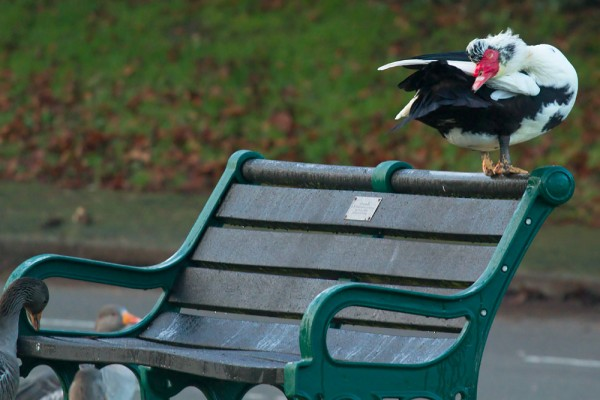 Muscovy duck on bench