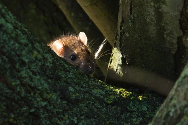 rat in tree roots