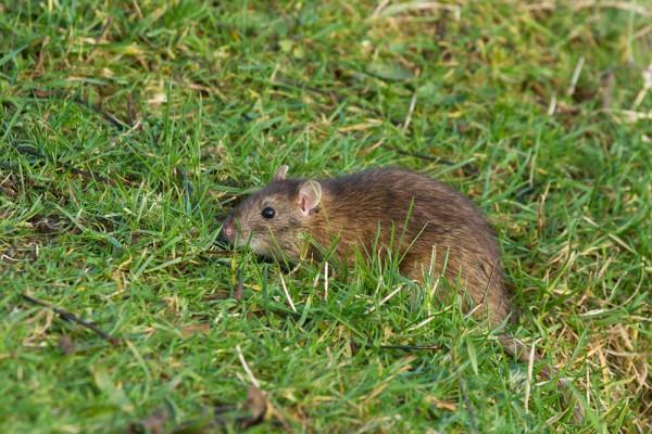 rat on grass bank