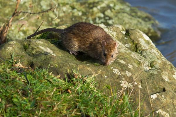rat on rock