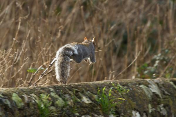 Grey squirrel running along stone wall