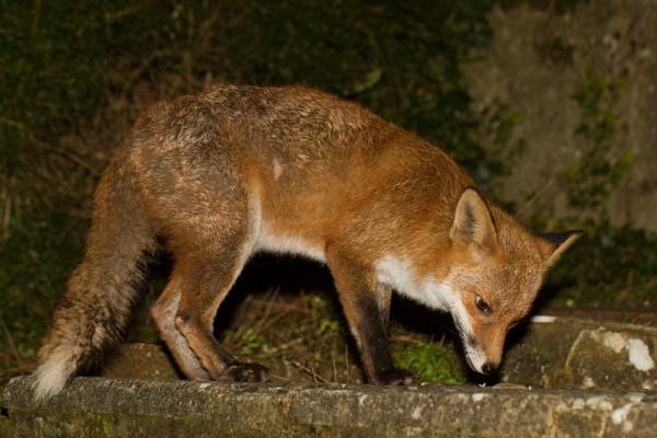 Fox on garden step