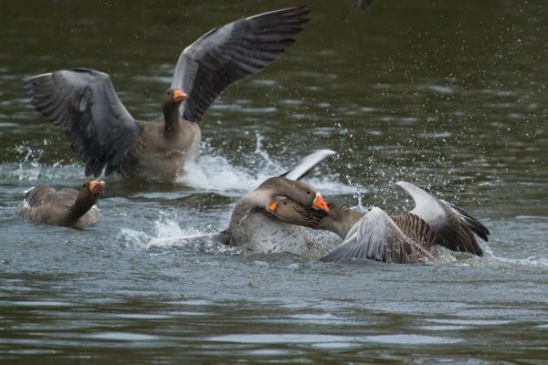 greylag geese mating
