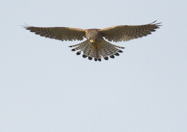 Kestrel over Sheepcote Valley