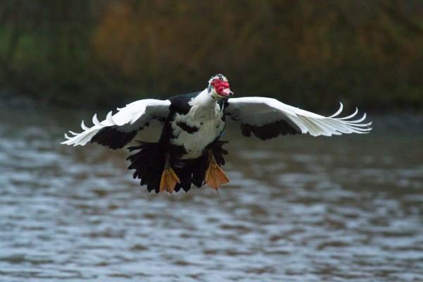 Muscovy duck (male/drake) in flight