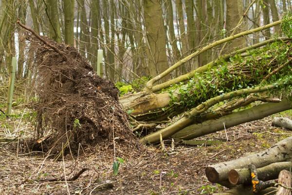 Fallen tree in Westlain Plantation,
