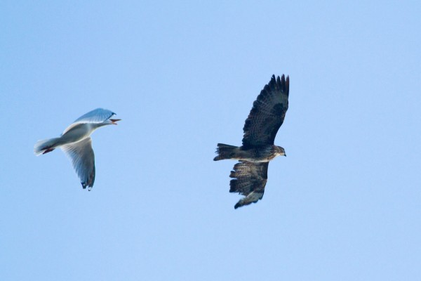 Common buzzard with missing primaries