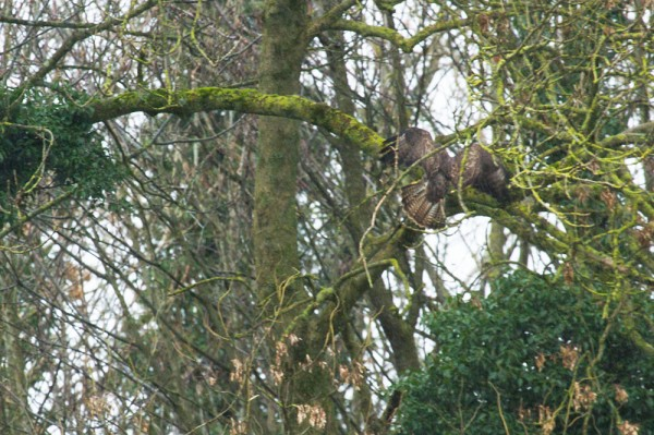 buzzard in woodland