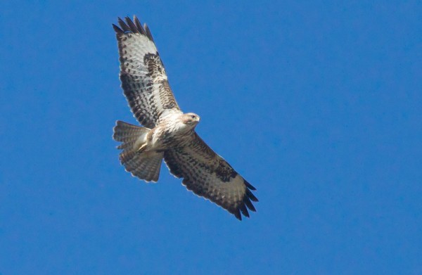 Common buzzard over garden